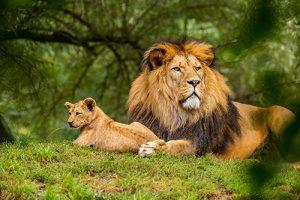 Löwe liegt auf dem Feld